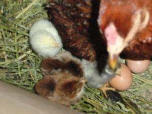 spring -chicks