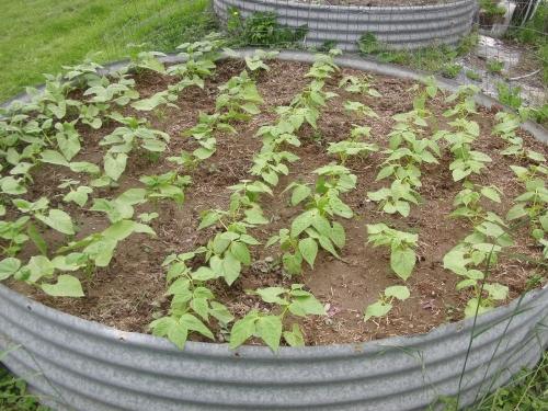garden -beans (1000x750)
