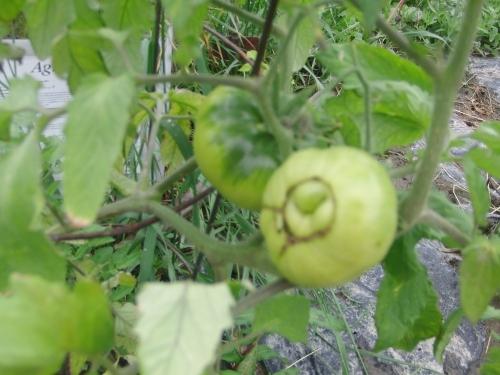 garden -tomatoes (1000x750)