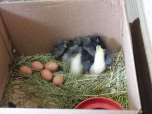 chicks (1000x750)