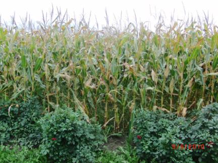 Ella in the corn